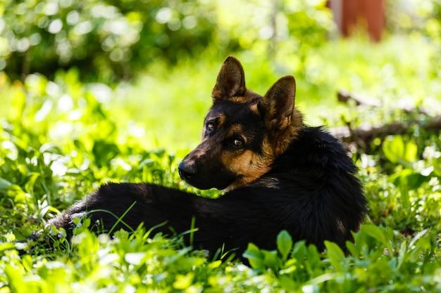 Dog german shepherd lying on grass in park