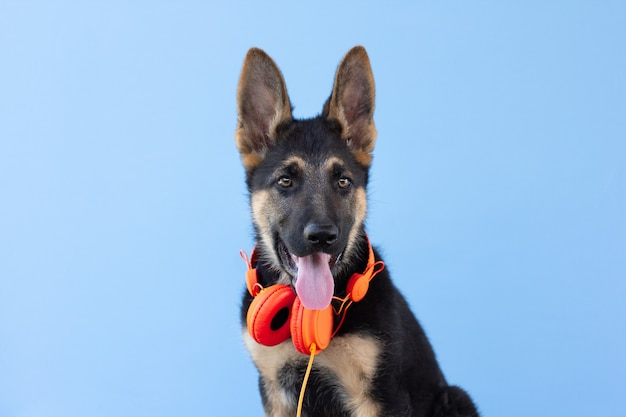 Dog german shepherd puppy in headphones, light blue isolated background. the concept of pets listen to music