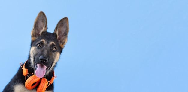 ヘッドフォンで犬のジャーマンシェパードの子犬、青い孤立した表面