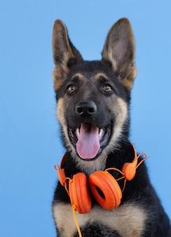 ヘッドフォンで犬のジャーマンシェパードの子犬、水色の孤立した背景。ペットが音楽を聴くというコンセプト