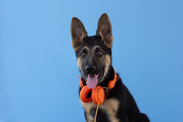 ヘッドフォンで犬のジャーマンシェパードの子犬、水色の孤立した表面