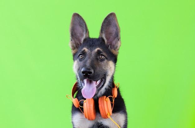 ヘッドフォンで犬のジャーマンシェパードの子犬、薄緑色の孤立した表面