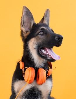 ヘッドフォンで犬のジャーマンシェパードの子犬、オレンジ色の孤立した表面