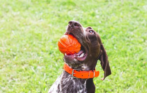 歯にボールを持った犬のジャーマンショートヘアードポインター、クローズアップの肖像画_