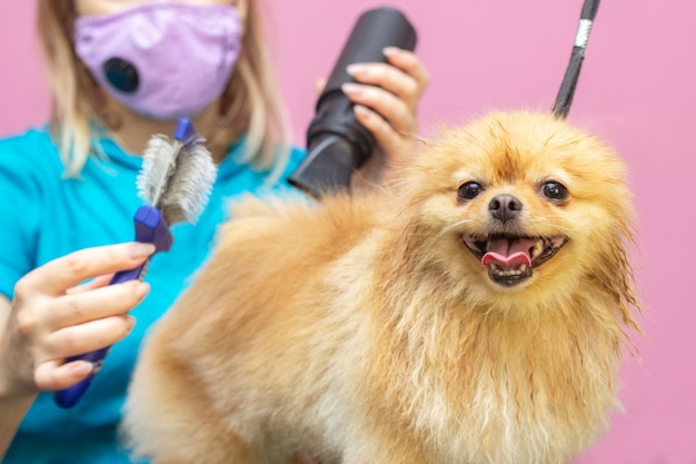 Dog gets hair cut at pet spa grooming salon. closeup of dog. dog is dried with a hair dryer. groomer concept