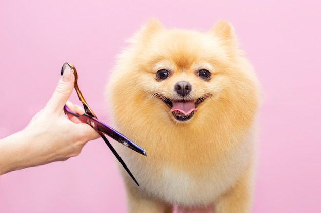 Dog gets hair cut at pet spa grooming salon.