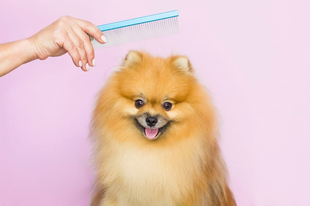 The dog gets a haircut at the pet grooming salon at the spa. close-up of a dog. the dog has a haircut. comb your hair. pink background. groomer concept.