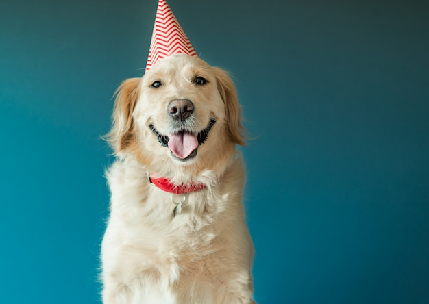 Dog golden retriever in birthday cap celebrate birthday in studio