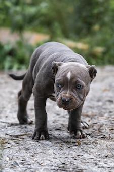 Собака серый американский питбультерьер, портрет на природе.