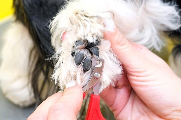 개 미용. 그루머는 가위로 개의 손톱을 자른다. 노란색 배경