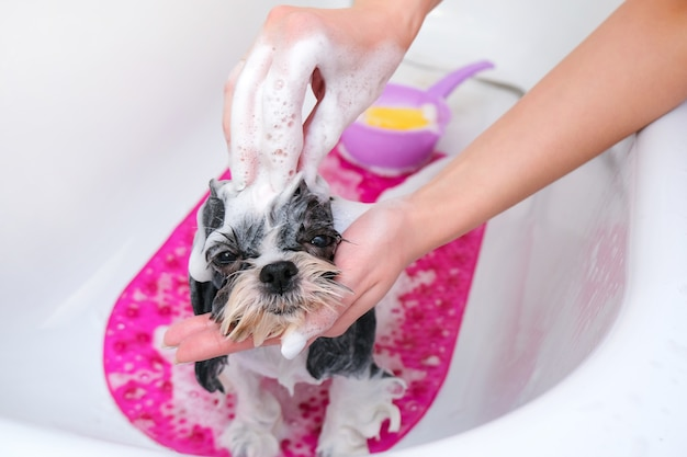 Dog in grooming salon; dog get shower; domestic animal get beauty procedures in beauty salon for dogs. in bath