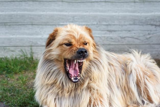 Собачье рычание. злая собака показывает зубы, готовая укусить. собака перед нападением.