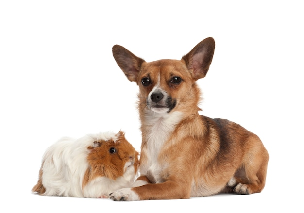 Dog and guinea pig portrait against white background