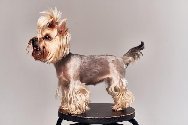 動物の孤立した背景の犬の髪型