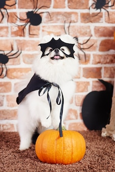 Dog in halloween costume standing on pumpkin