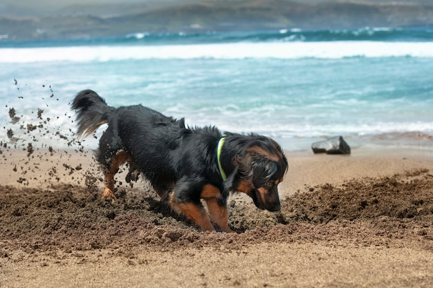 Dog having fun in summer by digging in the sand on the shore of the beach.