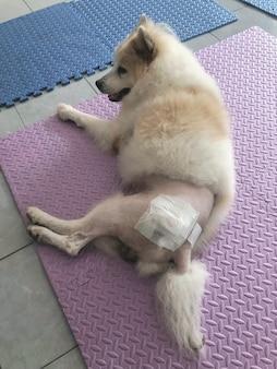 大腿骨頭頸部切除プログラムで手術後、床に横たわって包帯を巻いた犬の股関節