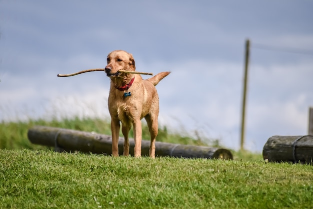 A dog holding wooden stick in mouth and standing on the grass.
