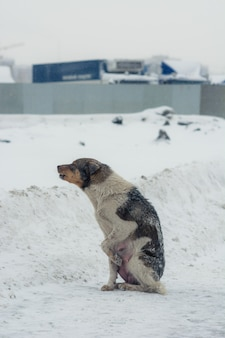 The dog howls from the cold and hopelessness.