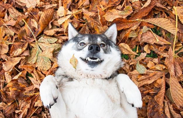 紅葉でいっぱいの地面に横たわっている犬のハスキー
