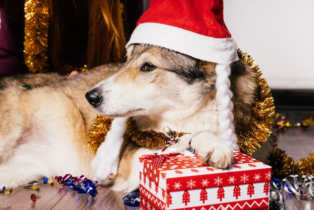 Собака в новогодней шапке позирует на фоне подарков