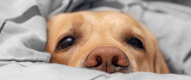 Собака в постели крупным планом. сосредоточьтесь на носу.