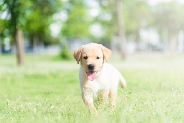 フィールドで犬。野生のラブラドールの子犬。
