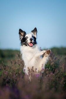 Собака в цветах лаванды прекрасный питомец собака на лавандовом поле бордер-колли собака