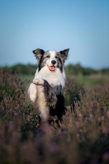 ラベンダーの花の犬ラベンダー畑の素敵なペットの犬ボーダーコリー犬