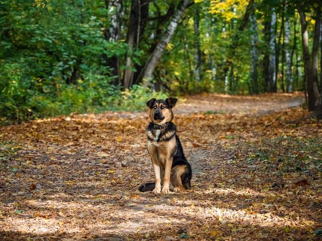 秋の森の犬。牧羊犬は秋の森の路地に座っています。