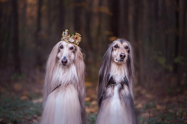 Собака в короне, афганские борзые на естественном фоне.