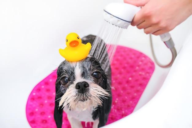 Собака в груминг-салоне; собака принимает душ; питомец получает косметические процедуры в собачьем салоне красоты. в ванной. утка на голове