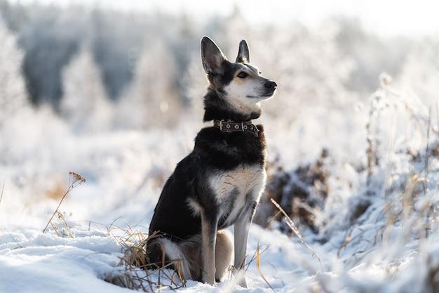 Собака зимой в снегу. портрет бордер-колли