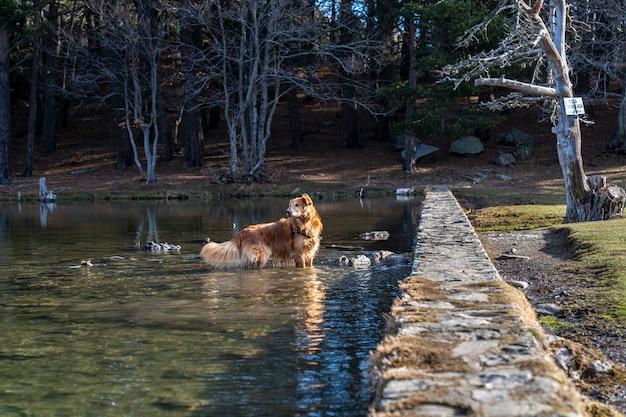 冬の「バサデオレス」湖の中の犬。