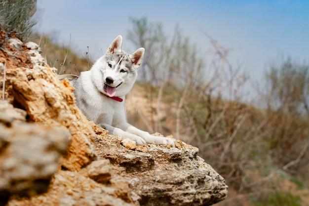 犬は草の上に横たわっています。シベリアンハスキーの肖像画。閉じる。自然の中で犬と一緒に休憩。川のある風景。