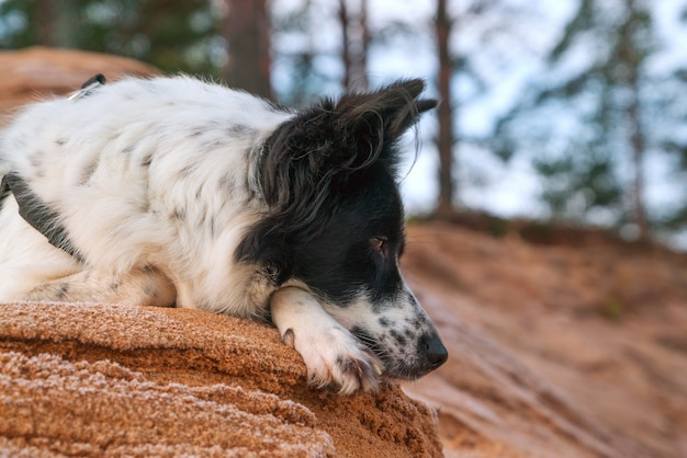 The dog is lying on a sandy slope against the background of the forest.