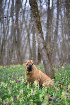 The dog is a purebred shar-pei in the woods. spring forest with flowers