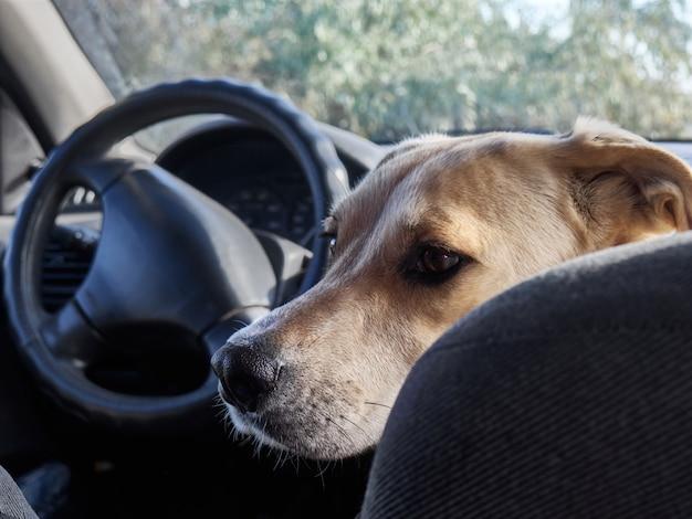 Собака сидит в машине.