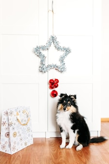 The dog is sitting in the room, a star for the new year and christmas, home decoration for the holiday, a puppy and a gift bag