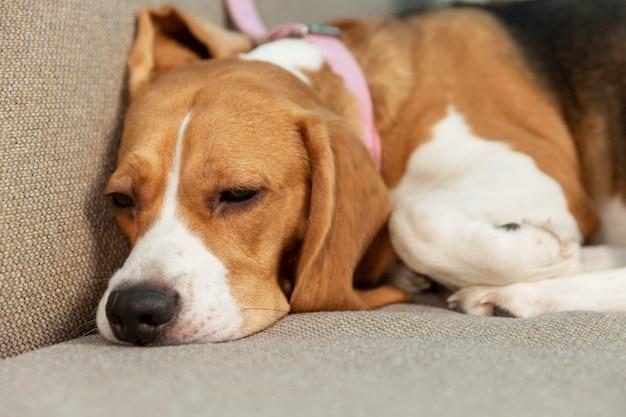 犬はソファで寝ています。ペットの愛と優しさ。閉じる。