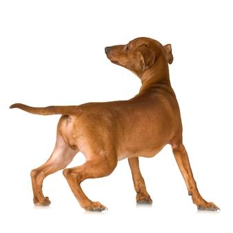 Собака, изолированные на белом