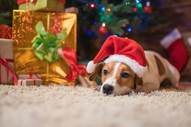 クリスマスを祝う贈り物とキャンドルとサンタの赤い帽子のクリスマスツリーの下で犬のジャックラッセル