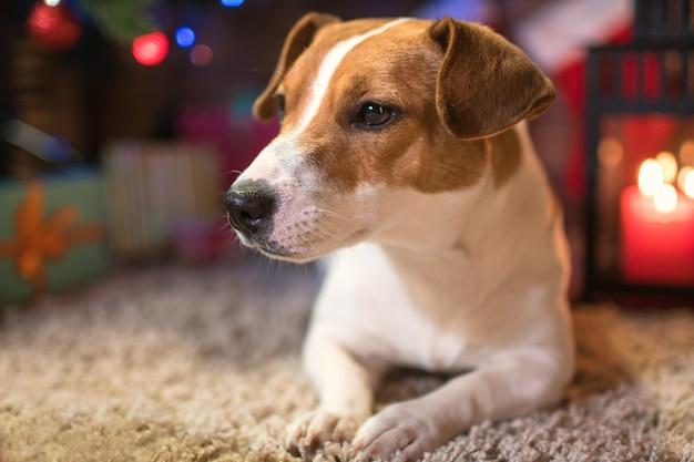 クリスマスツリーの下にある犬のジャックラッセルとクリスマスを祝うギフトとキャンドル