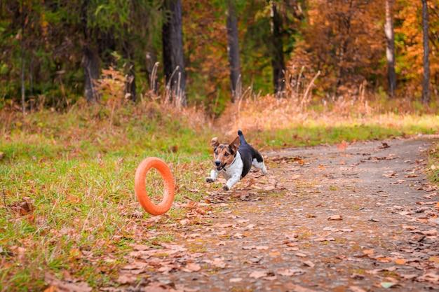 Собака джек рассел терьер на прогулке в парке. домашний питомец. собака гуляет в парке. осенний парк.