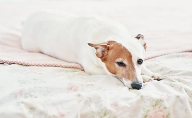 ベッドの上の犬ジャックラッセルテリア。ハッピーホームの雰囲気ムード。ペットに優しい(犬に優しい)ホテル。寝室のベッドで毛布で寝ている犬。