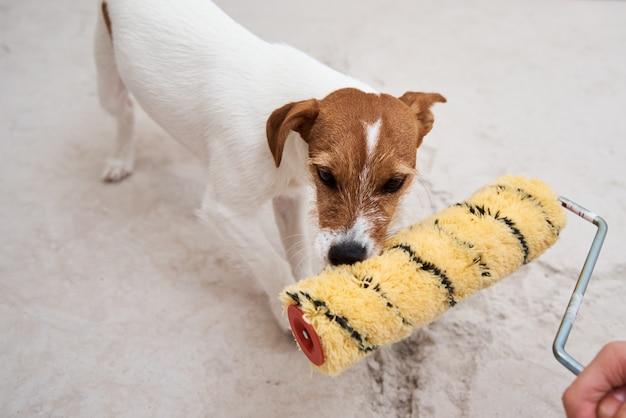 Собака джек рассел терьер играет с малярным валиком в белой комнате. концепция ремонта
