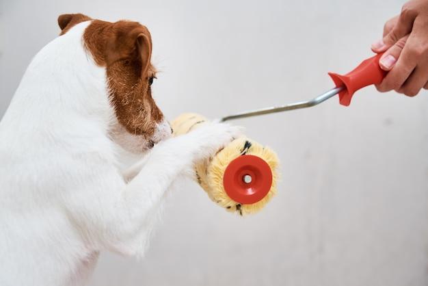 Джек-рассел-терьер собака играет с малярным валиком в белой комнате.