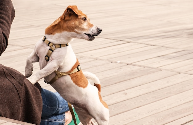 Dog jack russell terrier sits with front paws on the lap of its owner while walking in the park