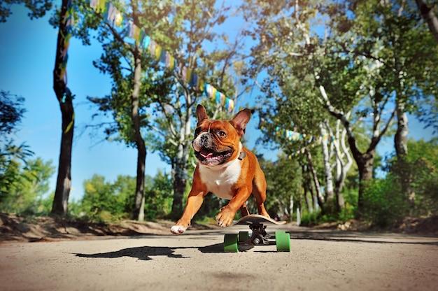 Собака прыгает с длинной доски