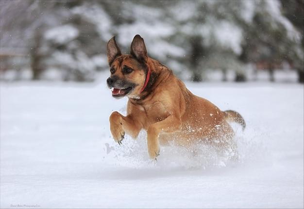 Собака прыгает в снегу
